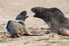 Gerangel zwischen Seelöwen