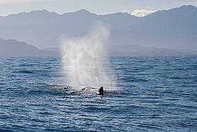Pottwal im Pazifik